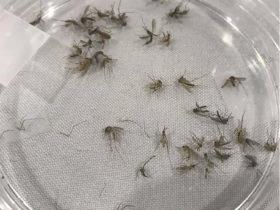 Los mosquitos portadores de enfermedades vuelan libres mientras los departamentos de salud se centran en el coronavirus